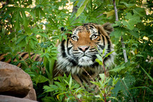 This Malayan Tiger Peers Through The Branches As It Stalks Another Tiger In A Local Zoo Exhibit. The Attention To Detail In Keeping This Exhibit 'wild' And Accessible Made For This Great Image.