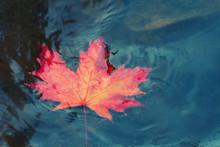 Autumn Maple Leaf Sinking In D...