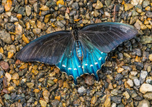 Blue Black Pipevine Swallowtai...