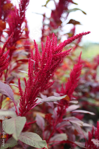 Flowering Seed Head of Red Garnet Amaranth Edible Plant Canvas Print