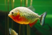 Red-bellied Piranha (Pygocentr...