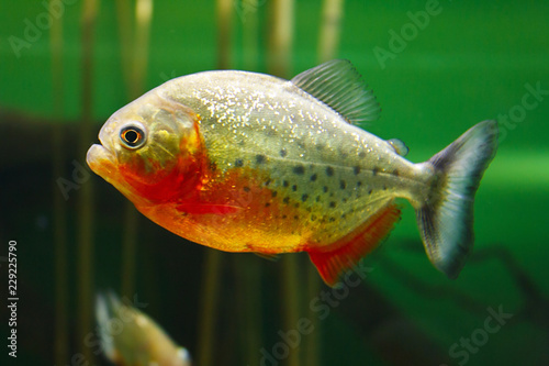 Fotografie, Obraz  Red-bellied piranha (Pygocentrus nattereri), also known as the Red piranha, Red