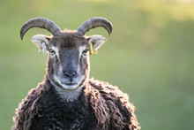 Ancient Breed Sheep In Welsh C...