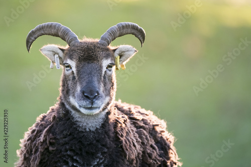 ancient breed sheep in welsh countryside