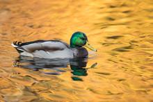 Mr. Mallard In The Golden Autumn Lake