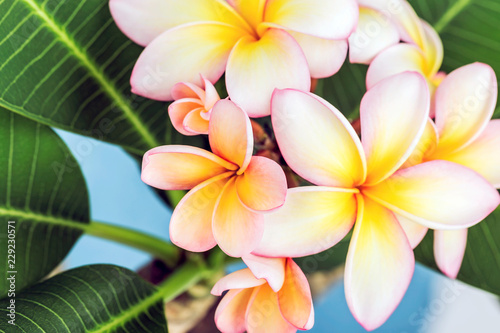 Plumeria or frangipani flower, Tropical flower.
