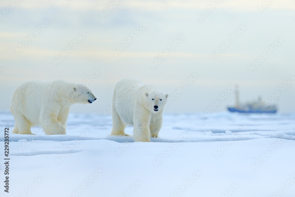 Polar bear on drift ice edge with snow and water in Russian sea. White animal in the nature habitat, Europe. Wildlife scene from nature. Dangerous bear walking on the ice, beautiful evening sky.