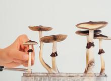 Hards Picking Magic Psilocybin Mushroom Into Box Close Up
