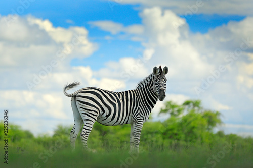 Poster Zebra Zebra with blue storm sky with clouds. Burchell's zebra, Equus quagga burchellii, Nxai Pan National Park, Botswana, Africa. Wild animal on the green meadow. Wildlife nature on African safari.