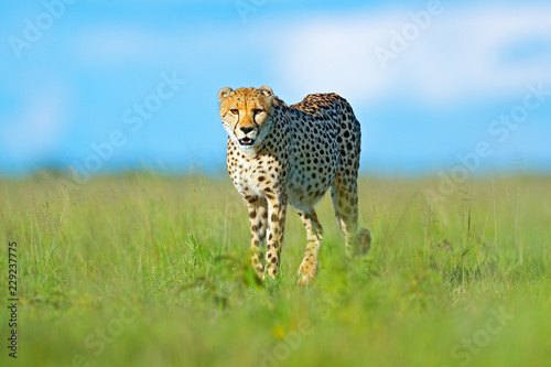 Cheetah, Acinonyx jubatus, walking wild cat. Fastest mammal on the land, Botswana, Africa. Cheetah in grass, blue sky with clouds. Spotted wild cat in nature habitat.