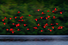 Scarlet Ibis, Eudocimus Ruber, Exotic Red Bird, Nature Habitat, Bird Colony Flying On Above The River, Caroni Swamp, Trinidad And Tobago, Caribbean. Flock Of Ibis Fly, Wildlife Nature.