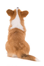 Welsh Corgi Dog From Behind Lo...