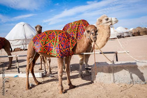 Keuken foto achterwand Kameel Camels (Camelus) in camp in Karakalpakstan desert, Khorezm Region, Uzbekistan.