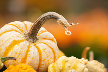 Closeup Of Mini Tiger Striped Pumpkin Against Autumn Colors. Gourds In The Foreground. Copy Space.