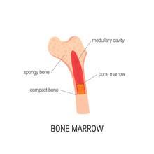 Bone Marrow Vector Concept