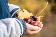 Little Hands With Chestnuts - Fall Time Autumn Yellow Maple Leaf And Chestnuts In The Hands Of A Child. Concept Autumn.