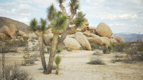Fotografie, Obraz  A tall yucca tree in front of a large pile of boulders or green screen
