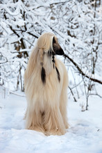 Dog Breed  Afghan Hound Standing In A Snowy Forest