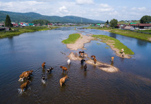 Herd Of Cows Crossing The Shallow River With Buildings And Houses On Its Coasts. Ural Region, Russia