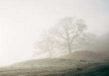Trees In Fog At Sunrise. Rydal, Cumbria, UK.