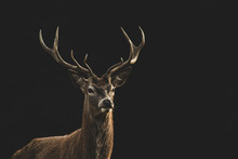 Red Deer (Cervus Elaphus) Port...