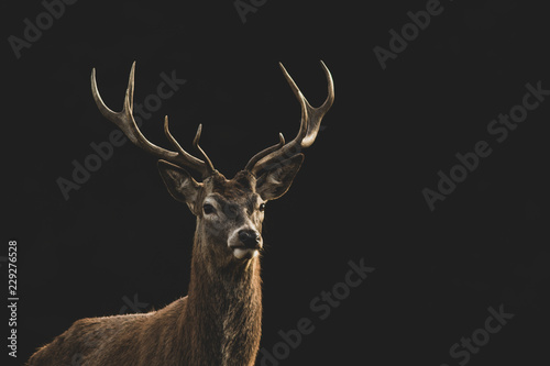 Red Deer (Cervus elaphus) portrait.