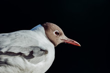 Black-headed Gull Portrait 2