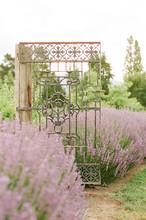 Lavender Farm In Bloom