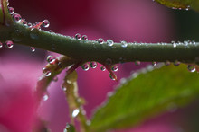 Thorny Drops