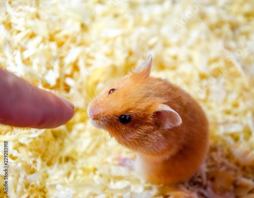 Hamster sniffing human finger.