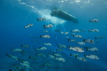 School Of Snapper Fish Moving Under Surface