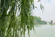 Willow tree branches with water on the background