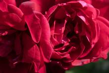 Red Velvet Garden Rose Close-up For Design Wallpaper Background