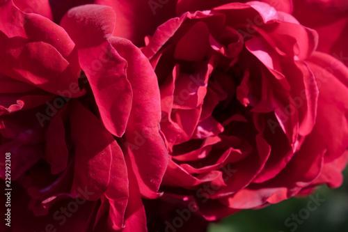 Red Velvet Garden Rose Close Up For Design Wallpaper Background