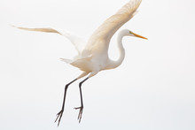Great Egret Flying In Sky