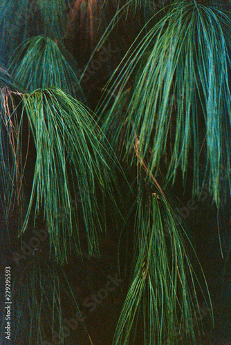 Tuinposter Bomen Pine Needle Detail