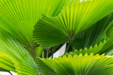 Ruffled Fan Palm Leaves Texture Nature Background