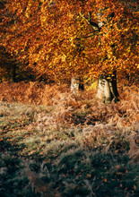 Autumnal Trees And Bracken. Norfolk, UK.