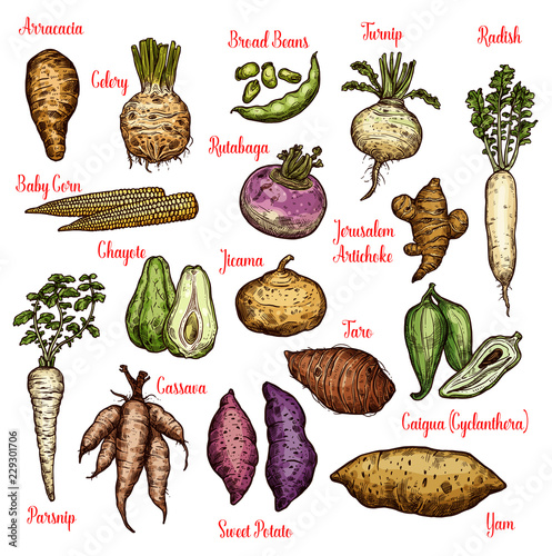 Exotic vegetables, beans and tubers sketches