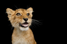 Funny Portrait Of Lion Cub With Opened Mouth Like Dog Showing Tongue Isolated On Black Background, Front View