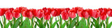 Fototapeta Tulipany - Red tulips on white background