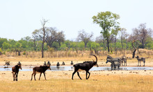 Scenic View From Camp Overlooking A Vibrant Waterhole In Hwange National Park With Sable Antelopes, Zebras And Chacma Baboons, Natural Bushveld Background - Heat Haze Is Visible