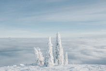 Snow Covered Pine Trees At Ski Resort.