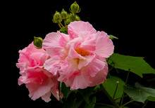 Sweet Fluffy Pink Hibiscus Mutabilis, Also Known As The Confederate Rose, Dixie Rosemallow, Or The Cotton Rosemallow, Isolated On Black Background.