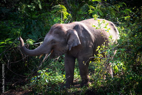Photo Asian young elephant in forest, Thai mammal strong in jungle and nature