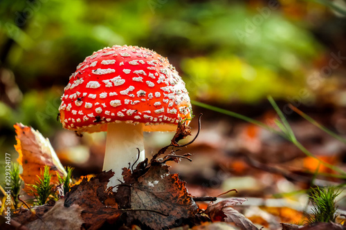 Photo Fly agaric (Amanita Muscaria) mushroom in the forest