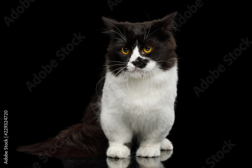 Fotografie, Obraz  Short Munchkin Cat white legs, standing with angry face on Isolated Black backgr