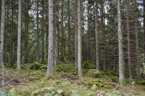 Keuken foto achterwand Bomen Beautiful spruce tree forest