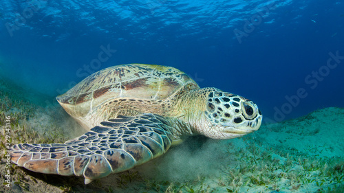 Canvas Prints Under water Green sea turtle in a sea grass meadow
