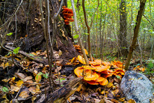 Omphalotus Olearius, Jack O'lantern Mushrooms Engulfing Oak Tree